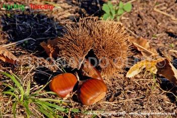 Italy, Tuscany, Amiata Mount, chestnuts