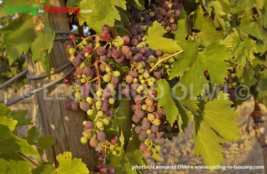 Italy, Tuscany, Chianti, grapes