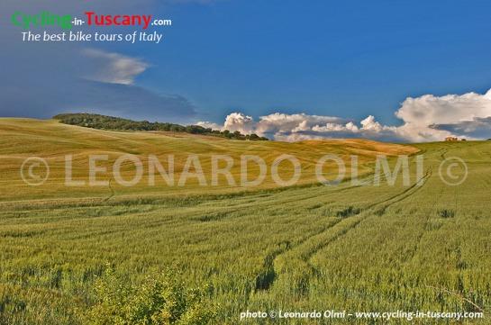 Italy, Tuscany, grain field