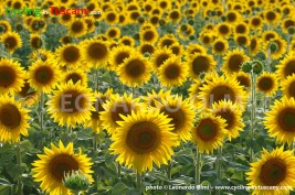 Italy, Tuscany, Val d'Orcia, sunflowers, cycling bike tours