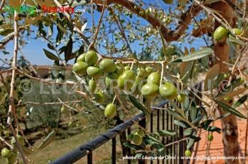 Italy, Tuscany, olives