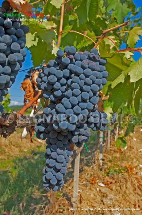 Italy, Tuscany, Chianti, vineyards, grapes